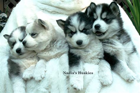 siberian husky puppies for adoption pomsky for adoption hd breeds picture