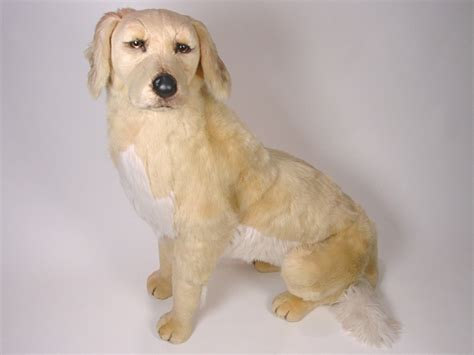 bald golden retriever golden retriever 2201 golden retrievers dogs