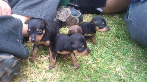mini doberman pinscher puppies miniature doberman pinscher puppies springs ads south africa
