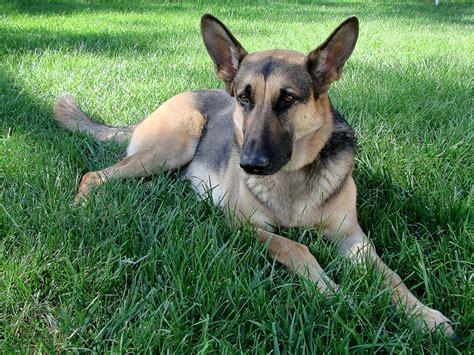 german shepherd facts hip dysplasia in dogs german shepherds breeds picture