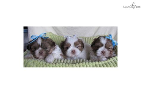 shih tzu puppies for sale in bellingham wa puppies for sale from imperial shih tzu nextdaypets