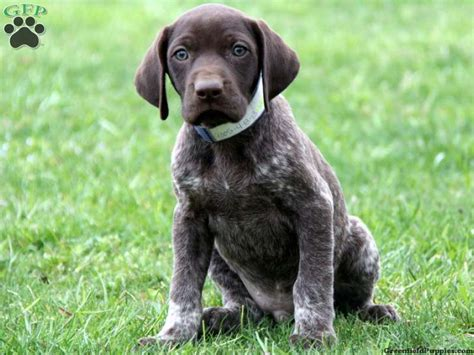 german shorthair puppies connelly german shorthaired pointer puppy for sale from german shorthaired