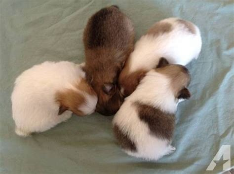 pomeranian puppies for sale in reno nv akc teacup pomeranian puppies for sale in reno nevada classified
