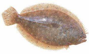 Sole (Aseroggodes macleyanus) Photographs and Information
