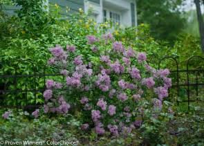 bloomerang 174 purple reblooming lilac syringa x proven winners