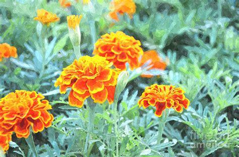 marigold paint marigold no 1 painting by rakratchada torsap