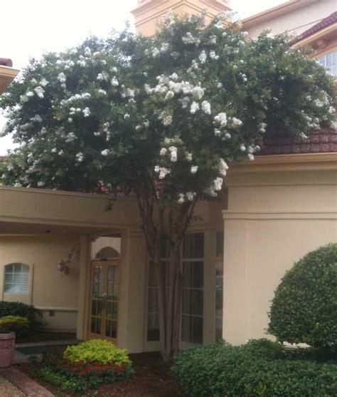lagerstroemia indica crape myrtle the home depot community