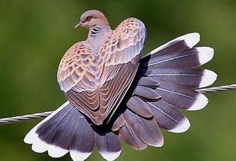 Makanan Perkutut gambar penjelasan burung perkutut mulai makanan suara