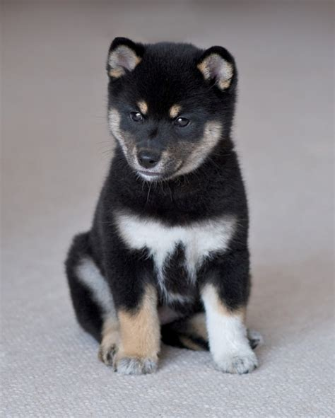 shiba inu puppies what is the breed shiba inu puppies pouted