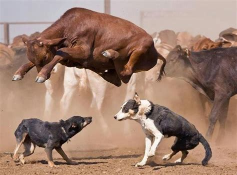 how to a working cow 87 best images about working cow dogs on a cow cattle and sheep