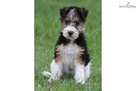 wire fox terrier puppies for sale wire fox terrier puppies for sale puppy breeders design bild