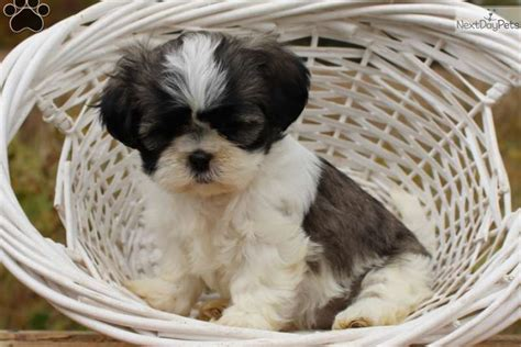 shih tzu puppies in pa shih tzu pupies for adoption in pa breeds picture