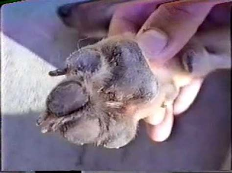 puppy distemper distemper facts information pictures encyclopedia articles about distemper