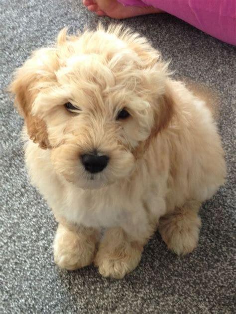 labradoodles puppies for sale qld 87 best images about doodles on labradoodles