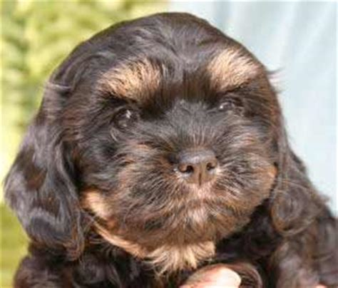 cavanese puppies cavanese breed pictures photos images