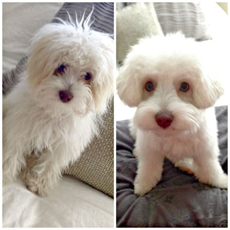 Giveaway Puppies - rudy got a haircut via a lady goes west dogs puppies maltipoo http aladygoeswest