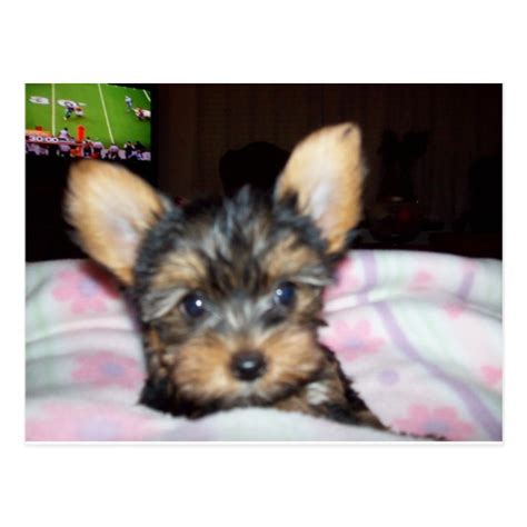 gifts for your yorkie yorkie puppy lover gifts postcard zazzle