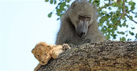baboon kidnaps  adopts  lion cub  south africa save reef