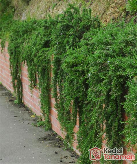 jual tanaman hias daun rosemary  lapak kedaitanaman