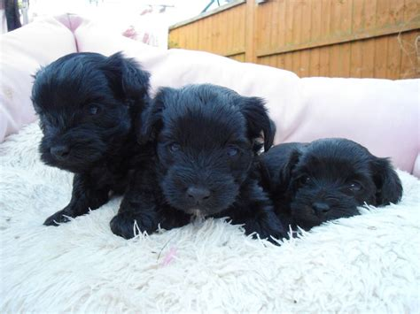 yorkie poo black yorkie poo puppies my cousins new yorkiepoo breeds picture
