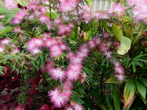 What Is Foliage Plants - calliandra pink poodle