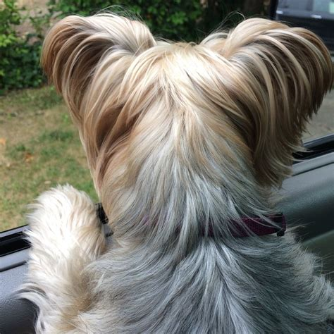 are yorkie poo dogs hypoallergenic 150 best images about silky terriers i mine on