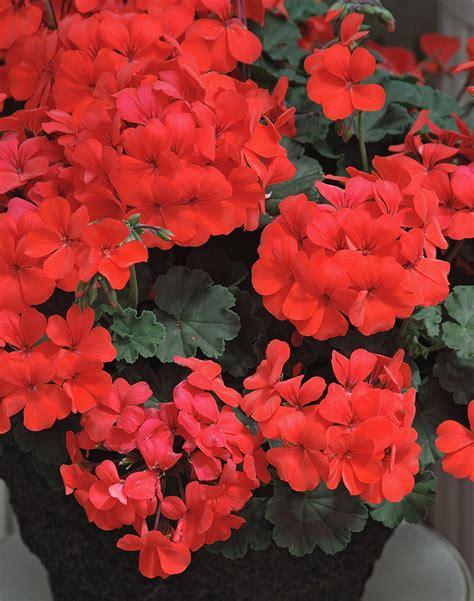 Sg Calliope caliente and calliope rock geranium world mississippi