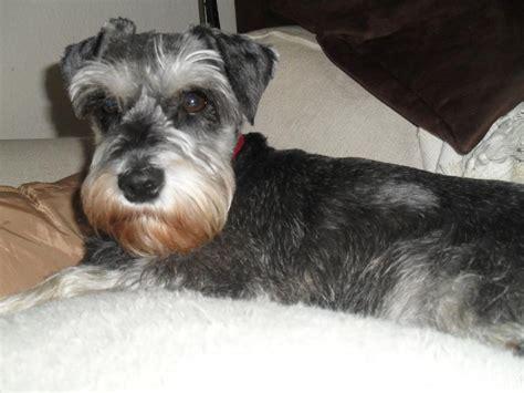 miniature schnauzer dog breed gem miniature schnauzer dog breeds