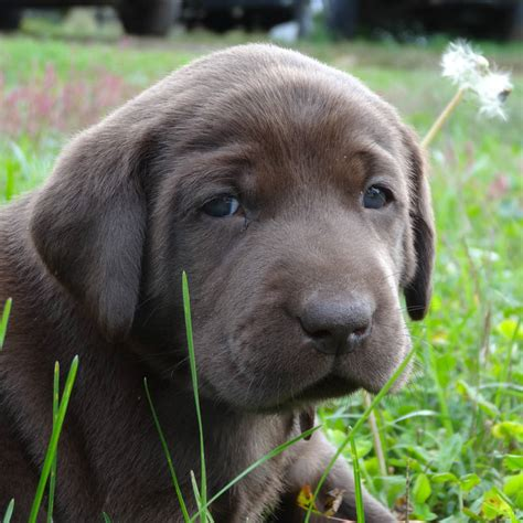 lab puppies for sale in va chocolate lab puppies for sale in winchester va breeds picture