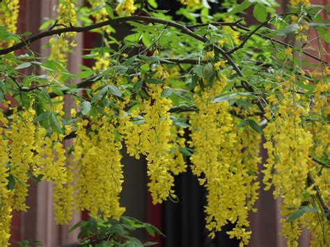 cherry tree b b killarney laburnum x watereri vossii goldenchain cherry