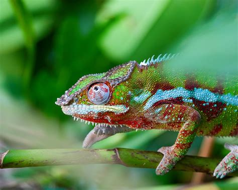 chameleon color change why and how chameleons change their color