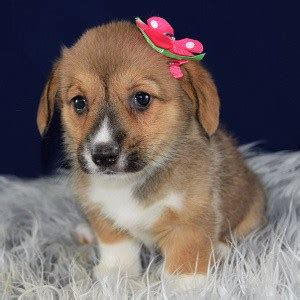 corgi puppies for sale pa corgi puppy for sale coconut puppies for sale in pa ny wv ri