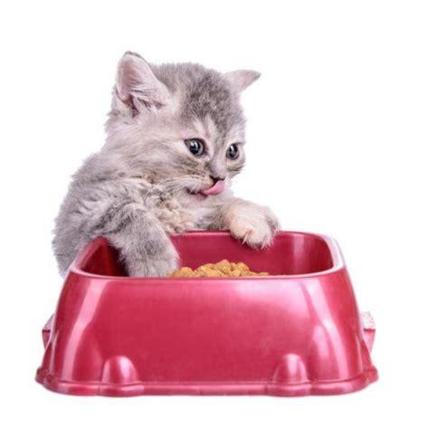 alimentazione gatti l alimentazione gatto