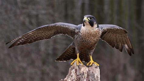 images of a falcon peregrine falcon