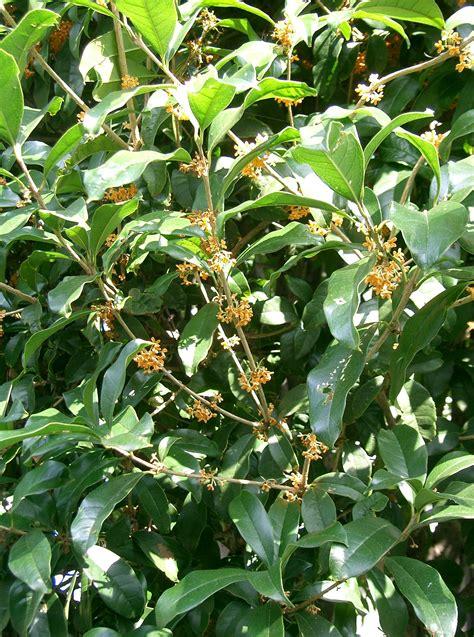 Tropical Tree Plants - osmanthus fragrans images useful tropical plants
