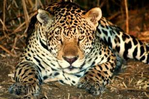When Did Jaguar Start Jaguar In Pantanal