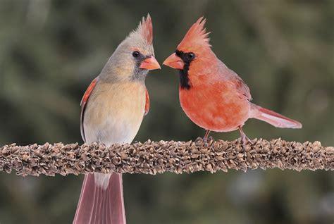 10 crimson facts about cardinals mental floss