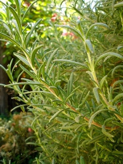 repel mosquitoes with these plants part 2 thyme rosemary