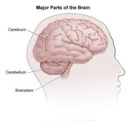 Parts of the brain the cerebrum the cerebellum and the brainstem