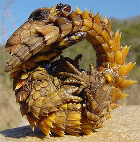 armadillo lizard tough desert reptile animal pictures  facts factzoocom