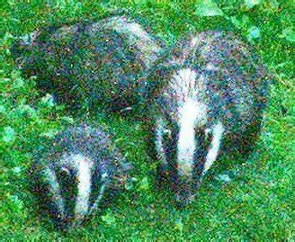 badger cull petition petition 183 stop the badger cull boycott all farm