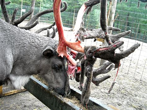 reindeer or caribou at garlyn zoo in michigan s