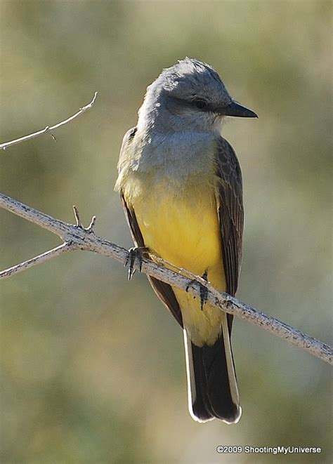 western kingbird birding pinterest