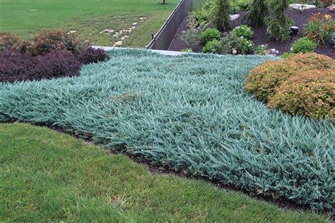 blue rug juniper for sale juniperus horizontalis blue chip blue chip juniper conifers for the south