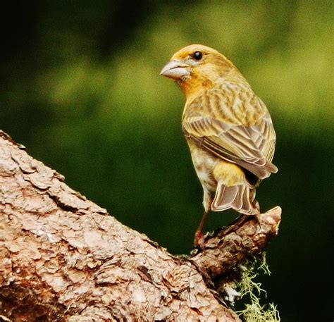yellow house finch yellow phased house finch photograph by vlee watson