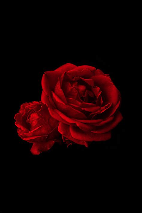 rose wallpaper hd iphone freeios7 valentine roses red parallax hd iphone ipad