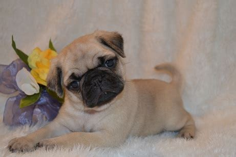 pug puppies for sale in arkansas pug king charles cavalier puppy breeders fayetteville ar morning puppies