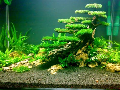 How To Aquascape A Planted Tank by Planted Tank Moss Tree Aquascaping Plants