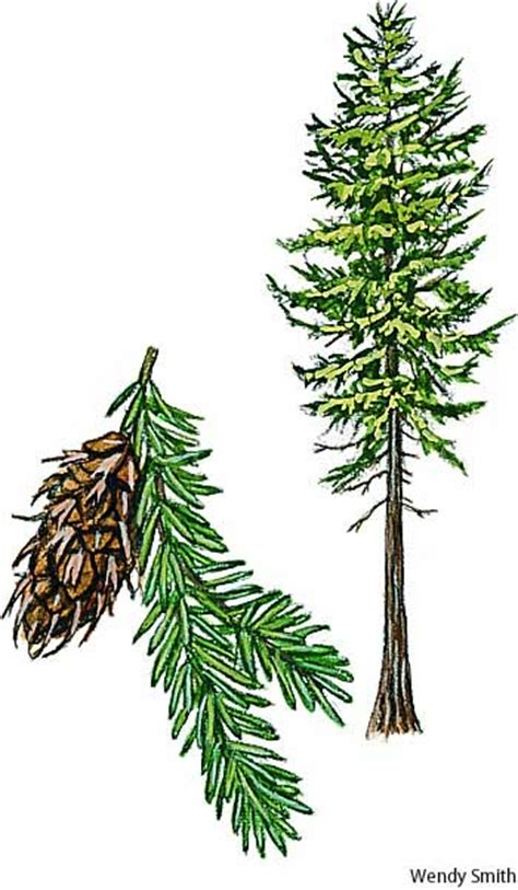 douglas fir dictionary definition douglas fir defined