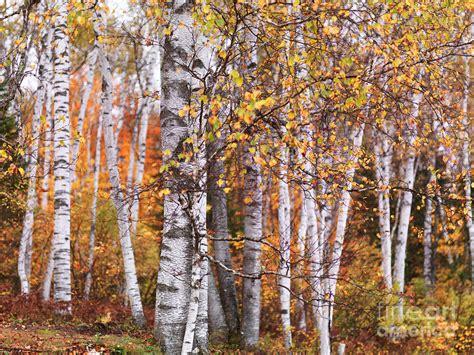birch trees fall scenery photograph by oleksiy maksymenko